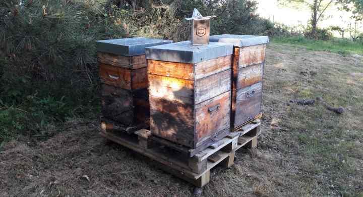 Miellée d'Acacia